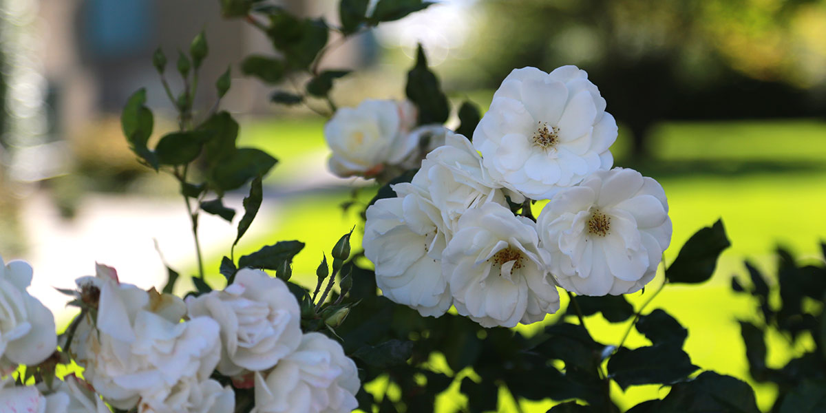 abstrandparken-strandparken-aarhus-c-hvid-rose